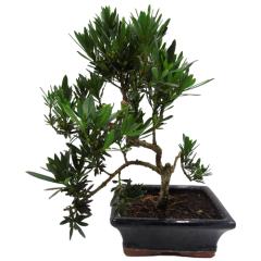 Buddhist Pine Bonsai