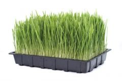Fresh Organic Living Barley Grass