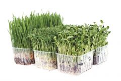 Organic Wheatgrass, Pea and Sunflower Punnet Selection